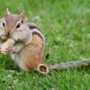 A live-action chipmunk [National Geographic]