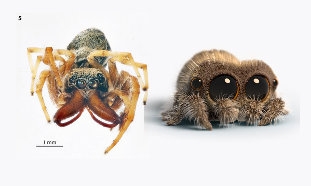 Salticus lucasi (left) and namesake Lucas the Spider (right)